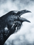 count_raven